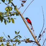 13.Short-billed Minivet, Nagaland