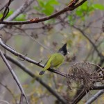15. Crested Finchbill