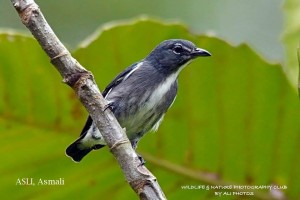 Spectacled flowerpecker Brunei